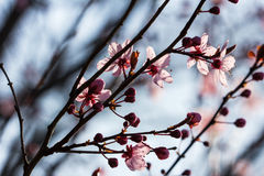 Pastel spring blues. Branch of prunus serrulata japanese cherry in the spring garden Royalty Free Stock Photos