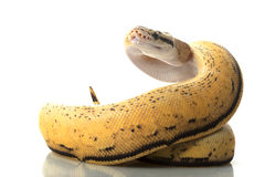 Pastel super stripe ball python Stock Images