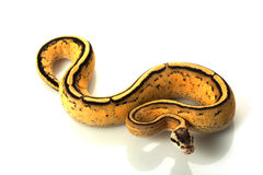Pastel super stripe ball python Royalty Free Stock Images