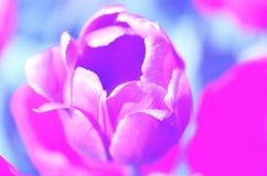 Pastel tone background tulip nature Stock Image