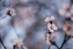 Pastel tones pink Spring blossom macro. On blue background Stock Images