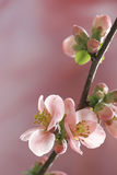 Pastel tones Spring blossom Royalty Free Stock Photos