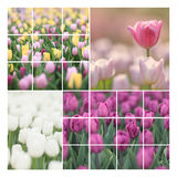 Pastel tulip collage Royalty Free Stock Photo