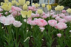 Pastel tulips Royalty Free Stock Images