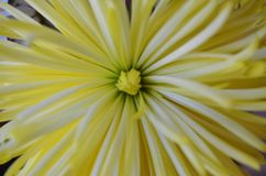Pastel yellow flower close up background. Lose up image of pastel yellow beautiful flower with focus on the center. Background image royalty free stock images