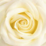 Pastel yellow fose flower close up Royalty Free Stock Images