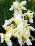 Pastel yellow irises Stock Photos