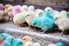 Pastelkleur-gekleurde babykuikens Stock Fotografie