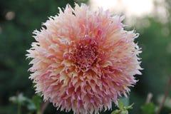 Pastelkleur Gekleurde Dahlia royalty-vrije stock foto's