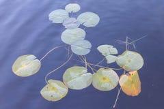 Pastelkleur Lilypads op zee op donkerblauwe wateren stock foto