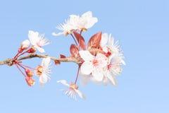 Pastelkleur zachte gestemde tak van de lente bloeiende kers stock foto