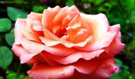 Pastell des rosa Tees stieg lizenzfreies stockfoto