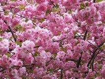 Pastell-Kwanzan Cherry Blossoms im Washington DC lizenzfreies stockbild