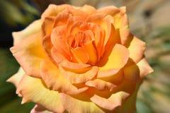 Pastellfärgad ina för apelsinrosblomma morgonsolljuset Royaltyfri Foto