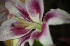 Pastellfärgad Lilly blomma Arkivbild