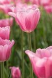 Pastellfärgade rosa färger Tulip Field Holland Michigan Vertical Royaltyfri Foto