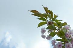 Pastellrosakirsche Kirschblüte in Japan in blühender Jahreszeit lizenzfreies stockbild
