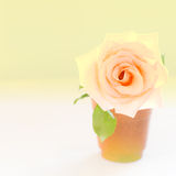 Pastellrose im Topf Stockfoto