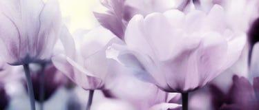Pastelowych menchii purpurowa panorama tulipany obraz stock
