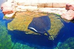 Pastenague électrique dans l'aquarium d'Eilat l'israel Image libre de droits