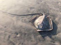 Pastenague sur le sable Photographie stock