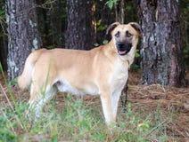 Pasterski mastif mieszający trakenu pies Zdjęcia Stock