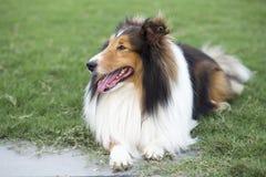 Pasterski pasterski pies obrazy stock