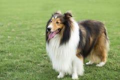 Pasterski pasterski pies zdjęcia stock