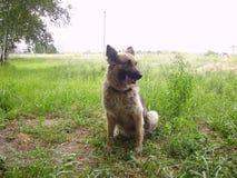 Pasterski pies przy podstawą szkolenią zdjęcia stock