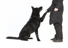 Pasterskich psów łapa fotografia royalty free