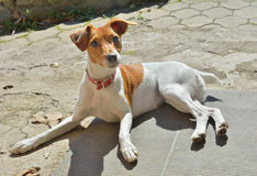 Pasteur Russell Terrier 2 Image stock
