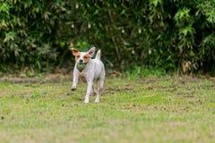 Pasteur Russell Terrier Female Dog Running photo libre de droits