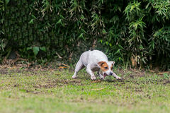 Pasteur Russell Terrier Female Dog Running photo stock