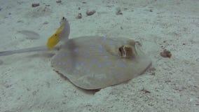 Pastinaca de la laguna de Bluespotted en fondo del mar arenoso del mar tropical metrajes