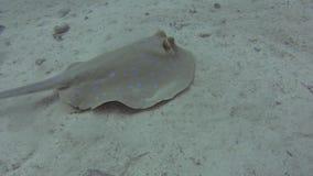 Pastinaca de la laguna de Bluespotted en fondo del mar arenoso del mar tropical almacen de metraje de vídeo
