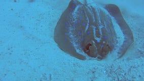 Pastinaca de la laguna de Bluespotted en fondo del mar arenoso del mar tropical almacen de video