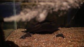 Pastinaca de los pescados en acuario metrajes