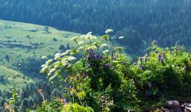 Pastinaca de vaca a lo largo de árboles en verano Foto de archivo