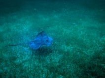 Pastinaca en el mar del Caribe - calafate de Caye, Belice imagen de archivo