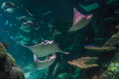 Pastinacas que nadan en acuario Imágenes de archivo libres de regalías