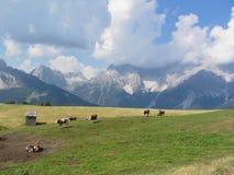 Pasto alpino com as vacas no primeiro plano e na opinião Sesto Dolomites, Tirol sul, Itália no fundo Fotografia de Stock
