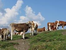 Pasto alpino con las vacas en primero plano y el cielo azul en fondo Sesto Dolomites, el Tyrol del sur, Italia Imagen de archivo