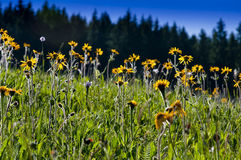 Pasto amarelo das flores na mola Foto de Stock Royalty Free
