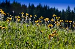 Pasto amarillo de las flores en resorte Foto de archivo libre de regalías