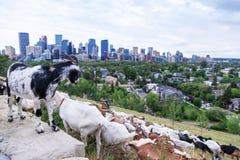 Pasto apuntado usando las cabras para las malas hierbas del control en Calgary fotografía de archivo