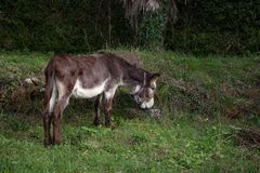 Pasto cabelludo del burro de Brown libre en un campo de hierba fotos de archivo
