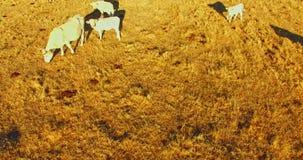 Pasto com rebanho de vaca video estoque