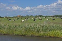Pasto com vacas Imagens de Stock Royalty Free