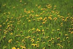 Pasto con las flores 02 Imagen de archivo libre de regalías