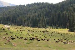 Pasto da montanha de Quirguizistão imagem de stock